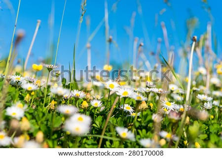 daisy blooming in the meadow - stock photo