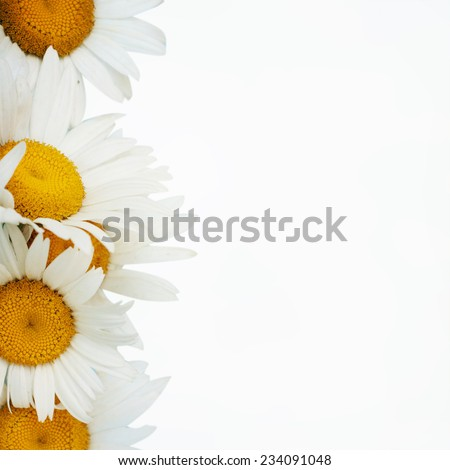 Daisy Border  - stock photo