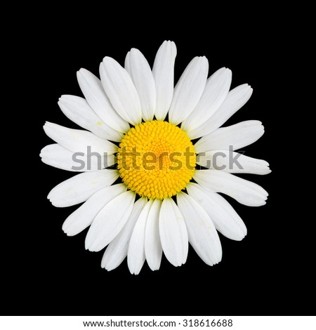 Daisy  chamomile flower on black background macro - stock photo