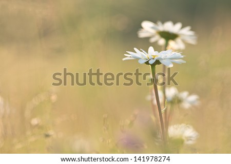 daisy chamomile flowers field at sunrise - stock photo