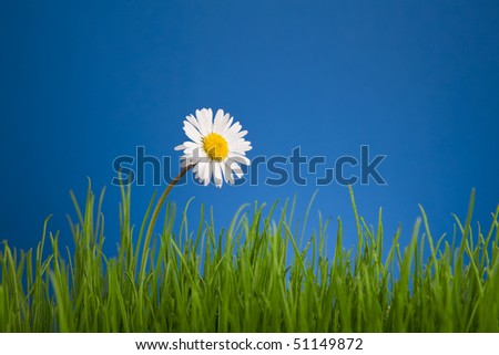 Daisy, chamomile on blue background, green grass