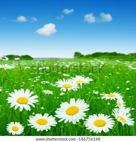 Daisy field under blue sky. - stock photo