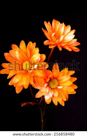 Daisy Floral arrangement isolated over a black background - stock photo