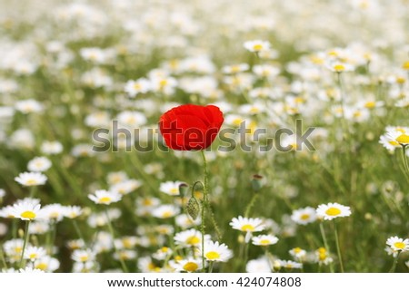 Daisy flower and red poppy background - stock photo