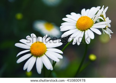 Daisy flower background. macro of beautiful white daisies flowers