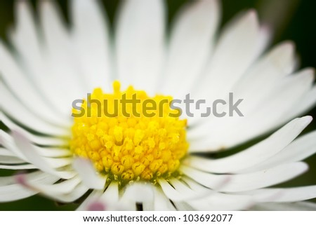 Daisy flower close up