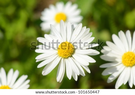 Daisy flower field