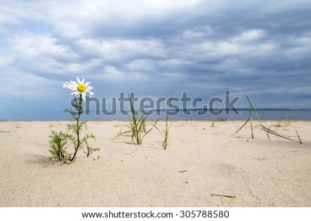 daisy flower growing in the sand on the beach near the water of the sea, against the backdrop of storm clouds - stock photo