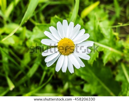 Daisy flower growing on meadow in the green grass. White petals of wild daisies close. Medicinal flowers of wild nature. Chamomile macro. - stock photo