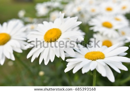 Daisy flower in a field in a village