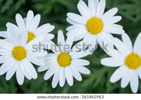 Daisy flower in garden