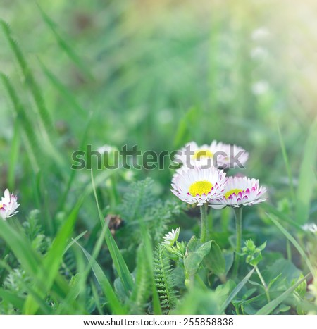 Daisy flower in green grass, in springtime - stock photo