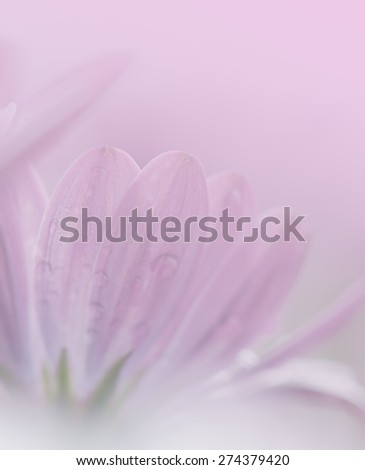 Daisy flower in soft style for the background.