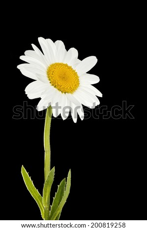 daisy flower isolated on black background  - stock photo