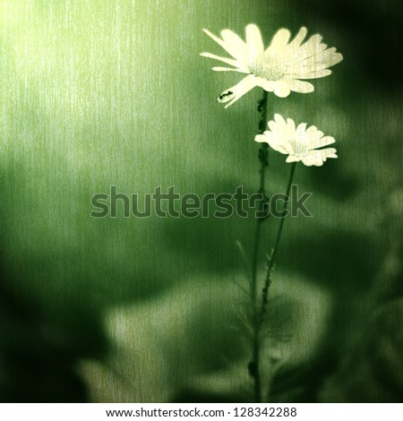 daisy flower on the old background - stock photo