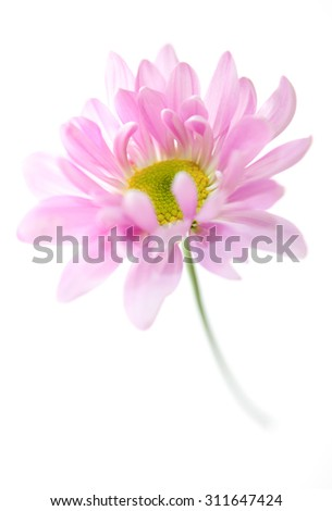 Daisy Flower Pink Yellow Daisies Blossom Floral Flowers Isolated on White - stock photo