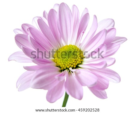 Daisy Flower Pink Yellow Daisies Blossom Floral Flowers Isolated on White
