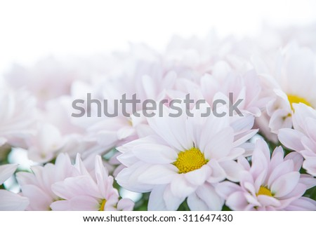 Daisy Flower Pink Yellow White Daisies Blossom Floral Flowers  - stock photo