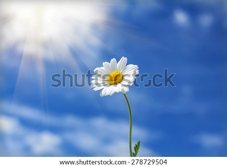daisy flower reaches for the sun in the background of clouds - stock photo
