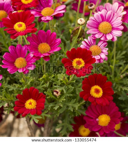 Daisy flower - Spring flower field close up - stock photo