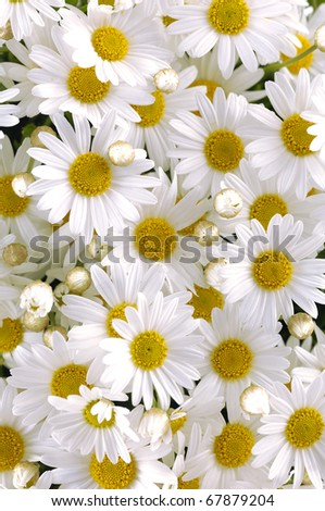 Daisy flower texture - stock photo