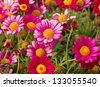 Daisy flowering - Spring flower close up - stock photo