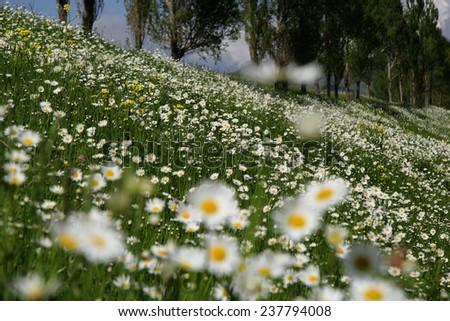 daisy flowers - stock photo