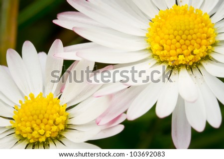 Daisy flowers close up