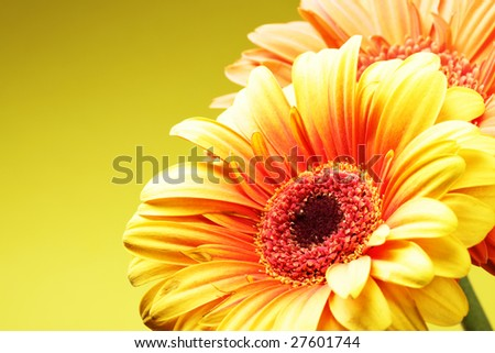 Daisy flowers close up over yellow background - stock photo