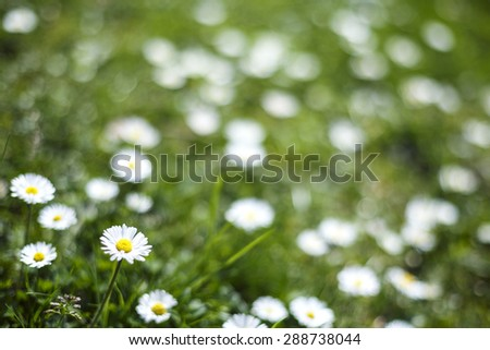 Daisy Flowers Field Natural Background/ Daisy Flowers Defocused Background - stock photo