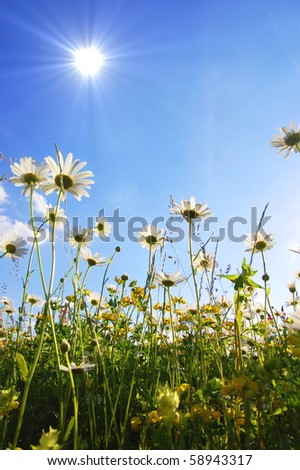 daisy flowers from below with blue sky on sunny summer day - stock photo