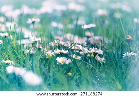 Daisy flowers in early spring - stock photo