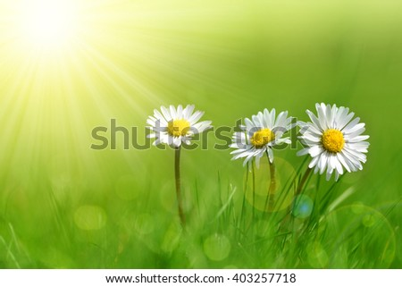 Daisy flowers in grass. Soft focus. Natural background. - stock photo
