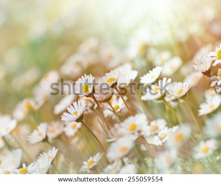 Daisy flowers in meadow (in spring) closeup - stock photo
