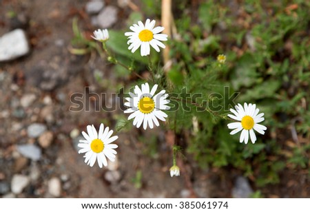 daisy flowers in nature - stock photo