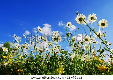 daisy flowers in summer from below with blue sky - stock photo