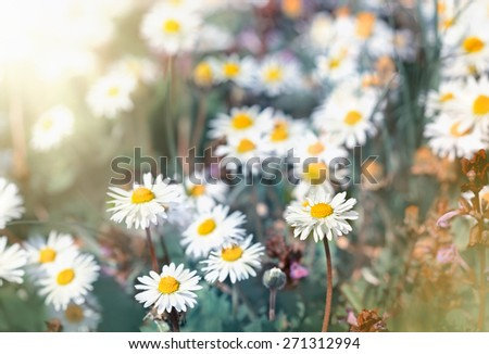 Daisy flowers - little spring daisy flowers in spring - stock photo