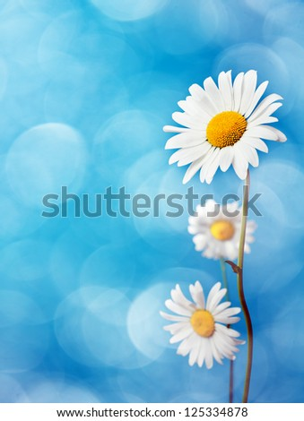 Daisy flowers on blue background. - stock photo