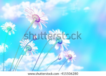 daisy flowers on blue sky background - stock photo