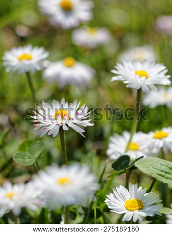 Daisy flowers on the field