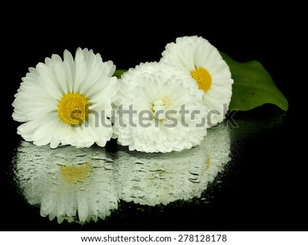 Daisy flowers or Bellis Perennis on a black background with reflection