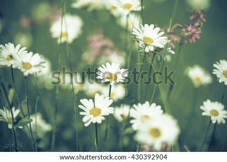Daisy flowers with beautiful colors