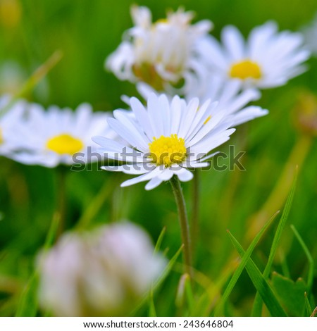 Daisy flowers with foreground and background blur - stock photo