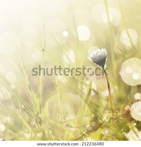 daisy in grass in morning when sunrise and soft light - stock photo