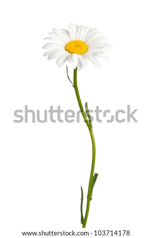 Daisy isolated on white background