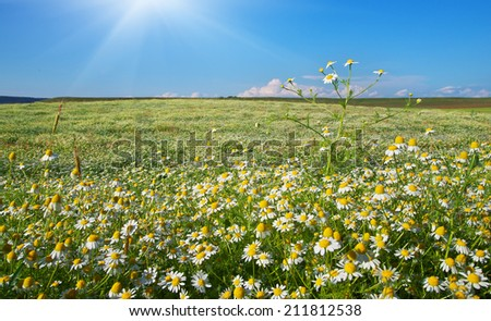 Daisy meadow. Composition of nature. - stock photo