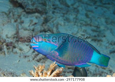 Daisy parrotfish (Scarus sordidus) underwater in the coral reef  - stock photo