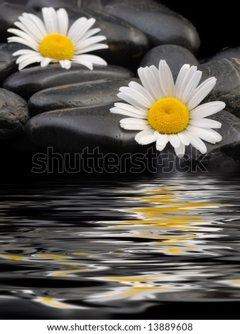 Daisy with black stones, water reflexion. Holiday card.