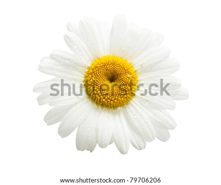 Daisy with drops on a white background.