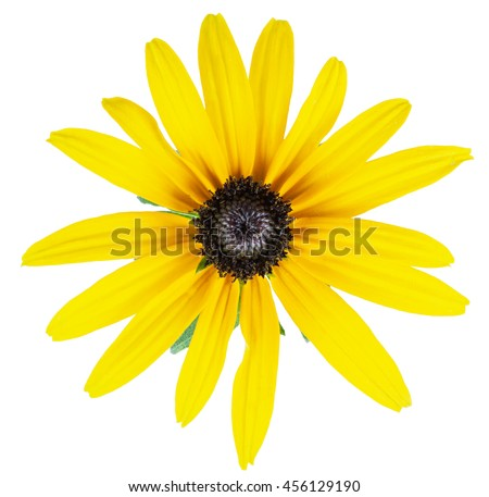 Daisy yellow flower isolated on a white background with clipping path - stock photo